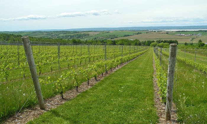 Green are the vines in Nova Scotia