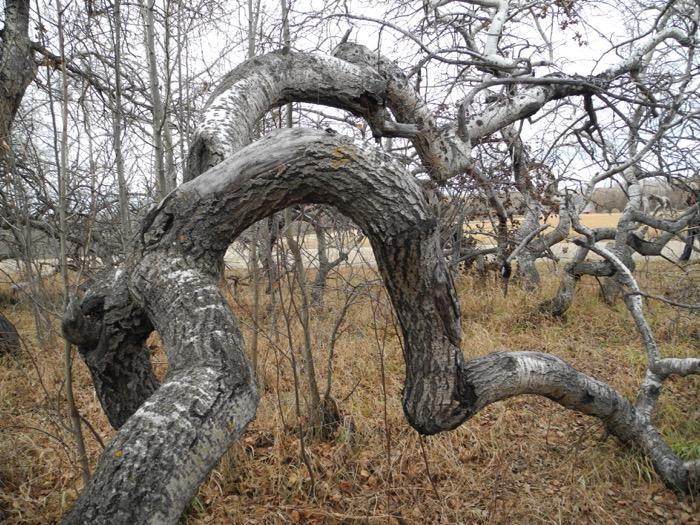 crookedbush