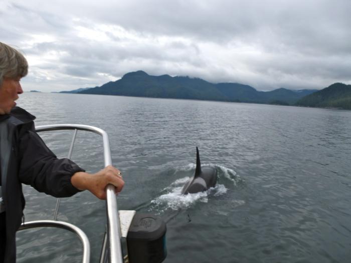 Orcas off the coast of Haida Gwaii